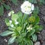 Primula denticulata 'alba' (Primula denticulata)