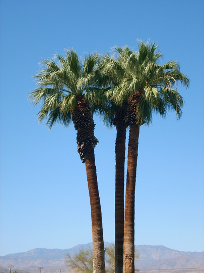 Washingtonia filifera - California Fan Palm (Washingtonia filifera - California Fan Palm)