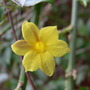 Winter flowering jasmin