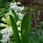 Hyacinth (Hyacinthus orientalis (Hyacinth))