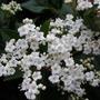 A garden flower photo (Viburnum carlesii (Viburnum))