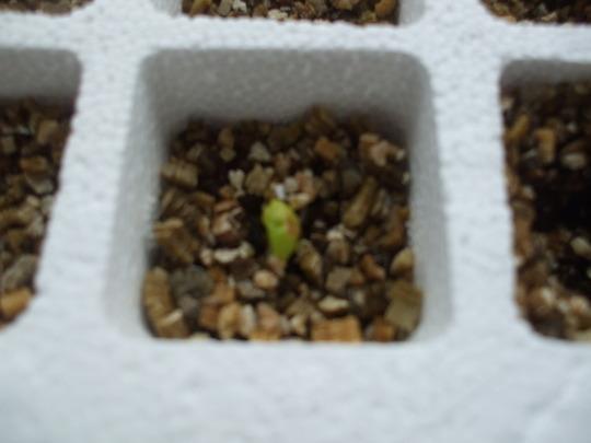 Toto's Hibiscus seedling....