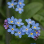 Forget-me-not (Myosotis alpestris)