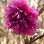 Rubus spectabilis 'Olympic Double' - 2009 (Rubus spectabilis 'Olympic Double')
