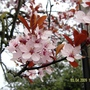 Cherry blossom..jpg