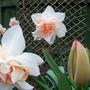 Narcissus 'Replete' (narcissus replete)