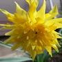 Narcissus - Rip Van Winkle
