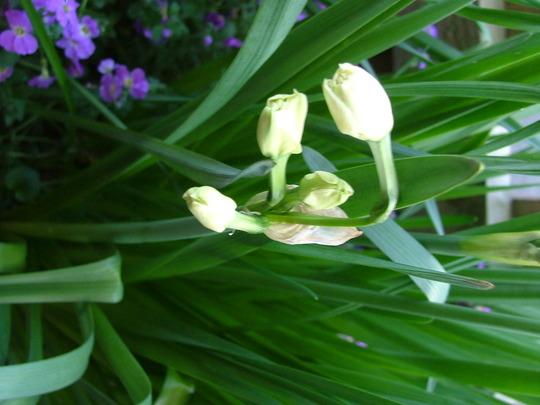 weird daffodils
