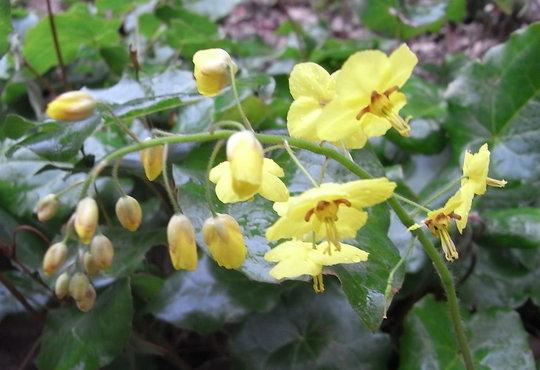Epimedium pinnatum subsp colchicum - 2009 (Epimedium pinnatum subsp colchicum)