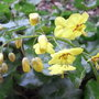 Epimedium_pinnatum_subsp_colchicum_2009