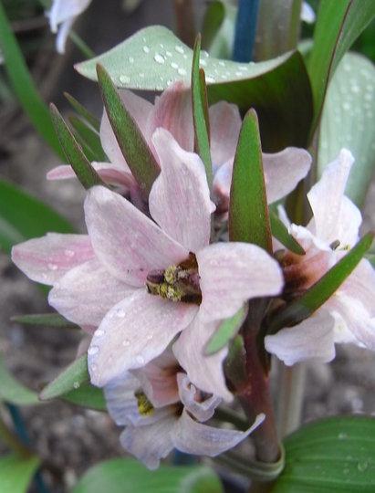 Fritillaria stenanthera - close-up (Fritillaria stenanthera)