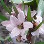 Fritillaria_stenanthera_close_up