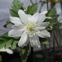 Altai anemone (Anemone pseudo-altaica)