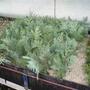 propagation evergreens