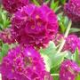 Drumstick Primula - April 2009 (Primula denticulata (Drumstick primula))