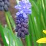 Muscari latifolium - April 2009 (Muscari latifolium)