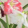 Amaryllis:two colours, red & white (Amaryllis)