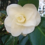 Camellia - April 2009