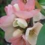 Ornamental quince, Chaenomeles - April 2009 (Chaenomeles japonica (Japonica))