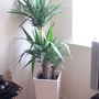 A garden flower photo (Yucca elephantipes (Giant yucca))