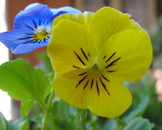 Violas (Violaceae)
