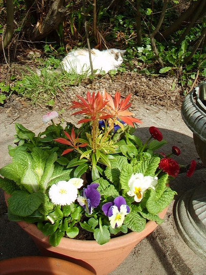 pot with pieris in centre