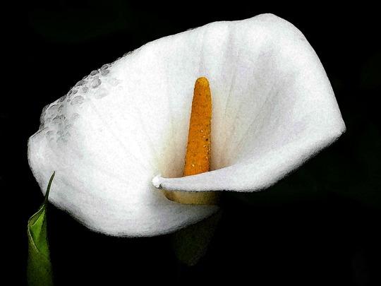 Lily's tears (Zantedeschia aethiopica (Arum lily))