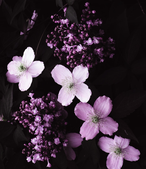 Lovely with Lilac (Syringa vulgaris (Common lilac))