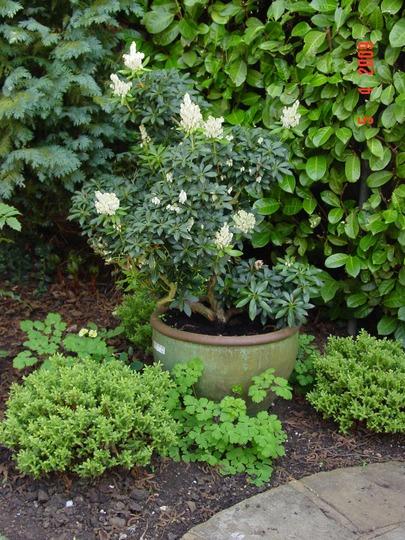Pieris (Lily of the Valley Bush) (Pieris)