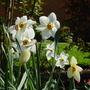 Daffodils 4 (Narcissus)