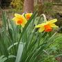 Naracissus (Narcissus pseudonarcissus)