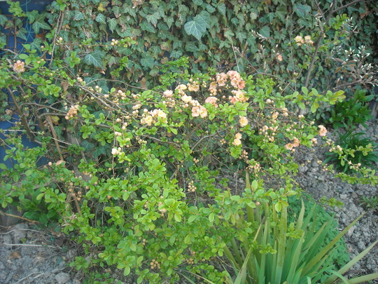 flowering quince (Chaenomeles speciosa (Flowering quince))