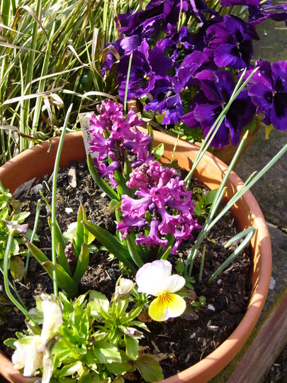 hyacinth 'woodstock' (Hyacinthus orientalis (Hyacinth))