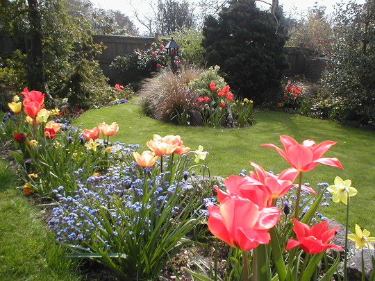 tulips in eggbuckland