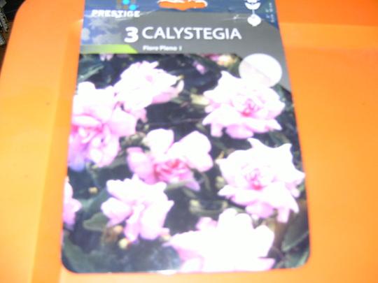 Calystegia hederacea (Calystegia hederacea)