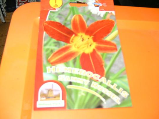 Hemerocallis Sammy Russel (Hemerocallis Sammy Russel)