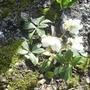 Christmas Rose 03.09 (Helleborus niger)