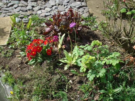 Primula, penstenom,aquelegia at edge of pond