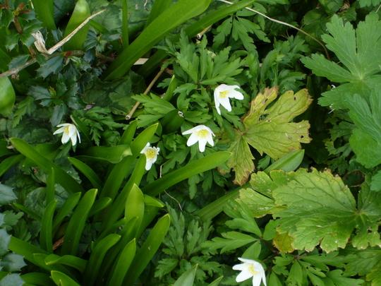 Anemone nemorosa (Anemone nemorosa (Windflower))