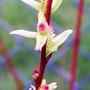 Salix Catkins (Salix)