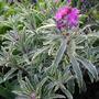Erysimum_linifolium_variegatum_