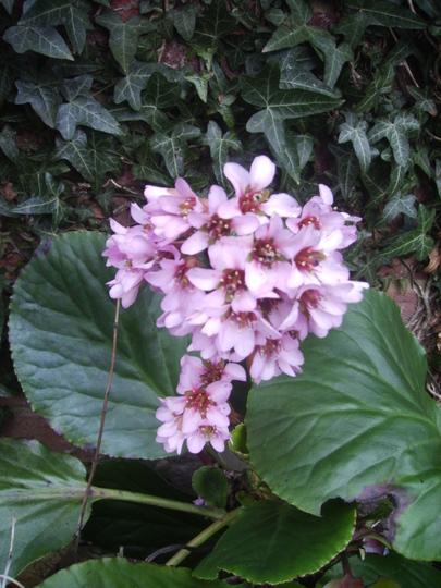More Elephants' Ears in bloom 03.09 (Bergenia cordifolia)