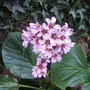 More Elephants' Ears in bloom 03.09 (Bergenia cordifolia)