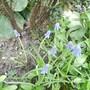 Grape Hyacinth Blooms 03.09 (Muscari)