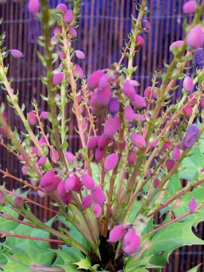 Colourful Mahonia Fruit (Mahonia japonica (Mahonia))