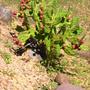 Botany Garden Series - Cactus (Opuntia basilaris (Beavertail Cactus))