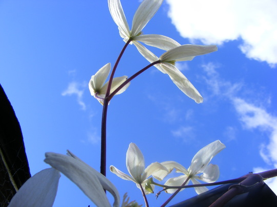 Armandii, and a beautifull blue sky..