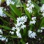 Puschkinia up a little closer (Pushkinia scilloides  var libanotica)