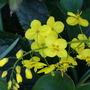 Epimedium x perralchicum (Epimedium pinnatum ssp. colchicum)