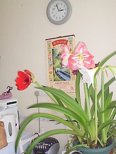 Al three colours (Amaryllis)